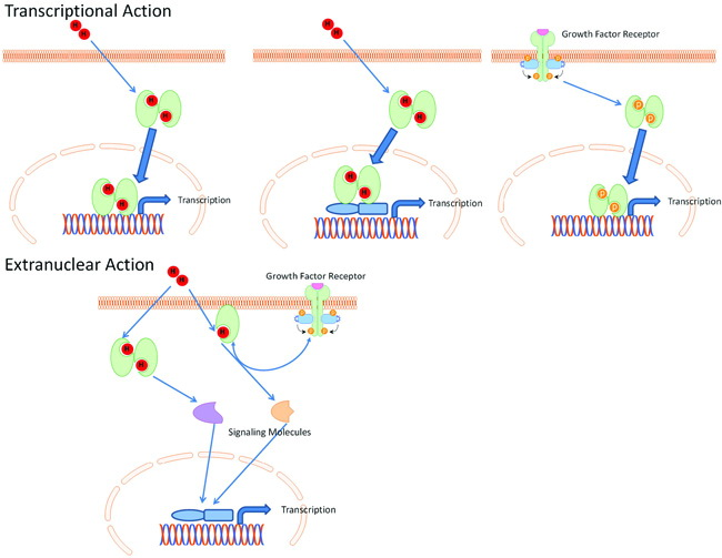genomic and nongenomic effects of steroids