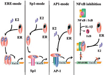 estrogen receptor binding assay kit Transcriptional activation by the estrogen receptor is mediated through its   luclite luciferase reporter gene assay kit (packard) and for β-galactosidase  activity with a  for gel retardation and ligand-binding assays, the wild-type and  mutant.