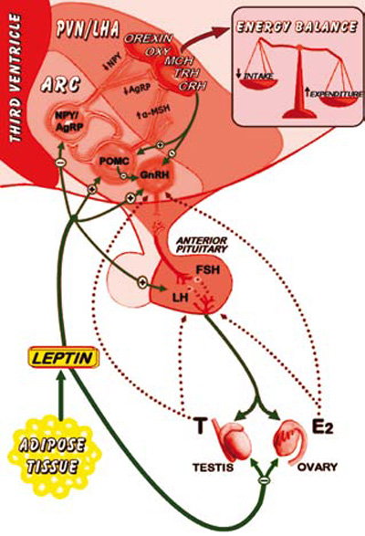 hypothalamus and pituitary gland. Hypothalamic Pituitary